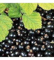 Zrób sobie krem, Peeling z nasion czarnej porzeczki, 50 g